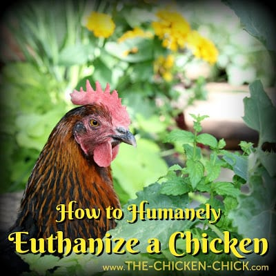How to Humanely Euthanize a Chicken by Dr. Mike Petrik, The Chicken Vet