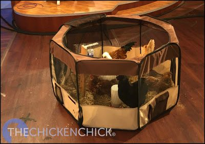Chicks very naturally take to nipple drinkers, so training isn't an issue- my challenge has always been in finding up a system for holding the drinker inside the brooder, particularly when using a soft-sided brooder such as a puppy playpen or cardboard box. The solution? A tomato cage! Read on for directions to build your own!