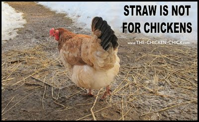 In a wet chicken yard, straw soon begins decomposing, becoming a foul-smelling, rotting mess of poop and mud- the ideal environment for pathogens such as coccidiosis to thrive.