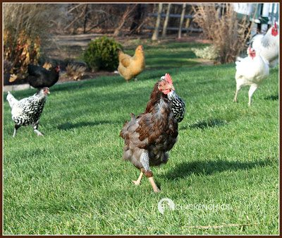 Chickens are vulnerable to pecking during a period of feather re-growth due to the visible presence of blood in the newly emerging pin feathers.