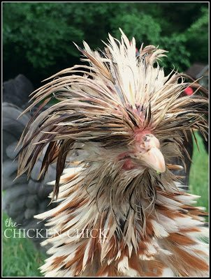 Breeds with fancy head feathers (Polish, Silkies, Houdans, etc.) are at increased risk for having their head feathers picked by other birds especially when the feathers get wet or the bird is molting.