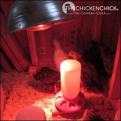 Chicks in brooders are frequently overheated by the use of heat lamps, which increases the risk of aggression and picking behaviors.