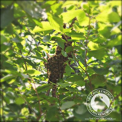 A closeup view of the swarm in the tree.