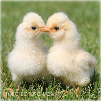 Gold Laced Polish chicks www.The-Chicken-Chick.com