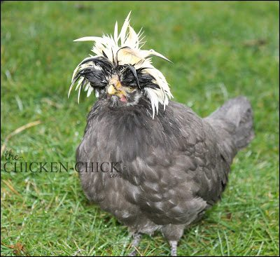 White Crested Black Polish hen www.The-Chicken-Chick.com