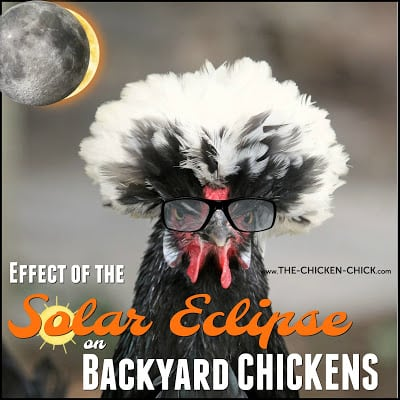 The Effect of the Solar Eclipse on Chickens ~The Chicken Chick