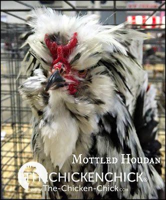 Mottled Houdan www.The-Chicken-Chick.com
