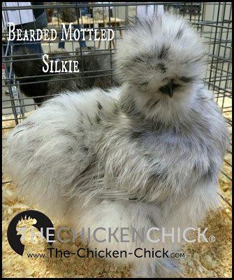 Silkie www.The-Chicken-Chick.com