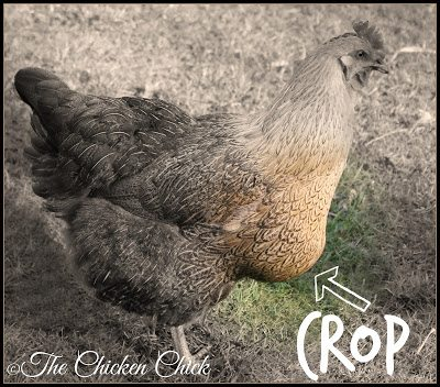 A chicken's crop serves as a temporary food storage pouch; it's located slightly to the side of its right breast muscle.