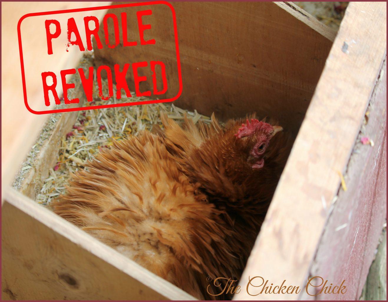 broody hen in nest box