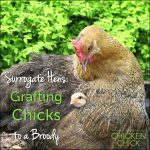 Grafting chicks to a broody hen