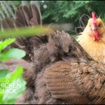 telltale signs of a broody hen
