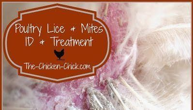 Chicken Mites and Lice ID & Treatment